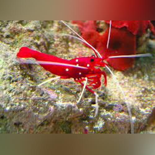 Fire Red Shrimp