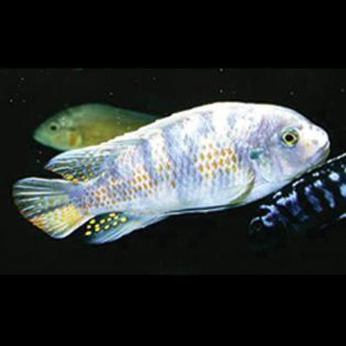 Fuelleborni Cichlid Orange Blossom
