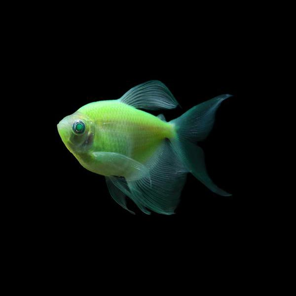 Glo Tetra Long-Fin Green