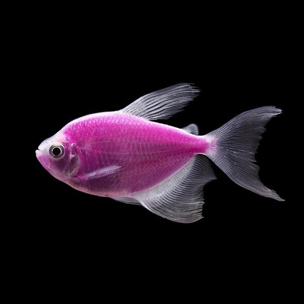 Glo Tetra Long Fin Purple
