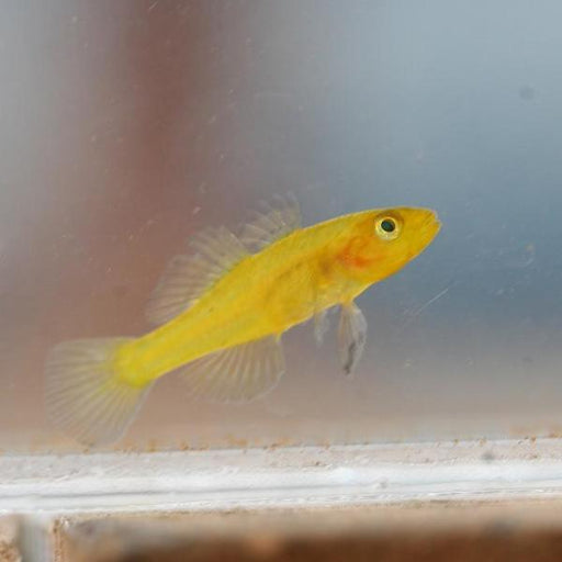 Golden Baby Goby