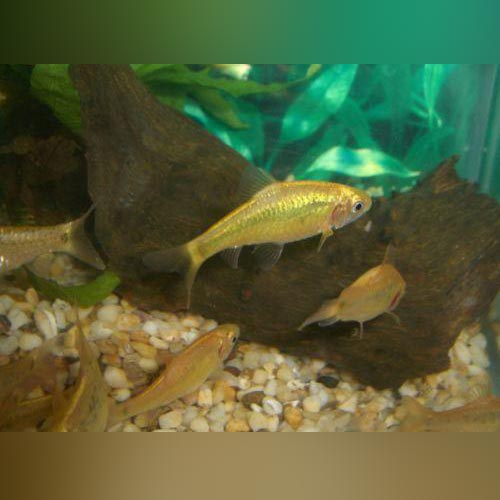 Gold Barb (Lot of 6)
