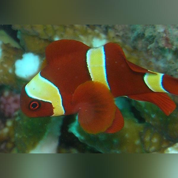 Gold Maroon Clownfish