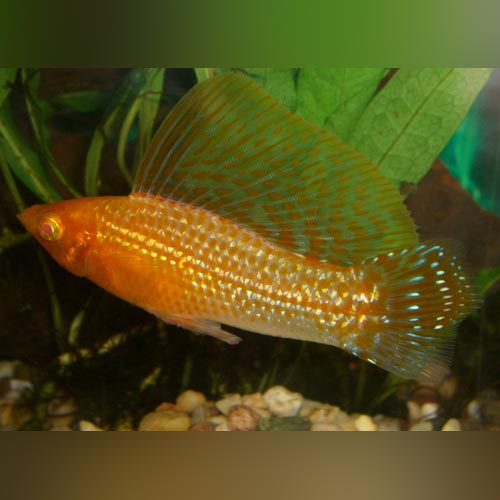 Gold Sailfin Molly (Pair)