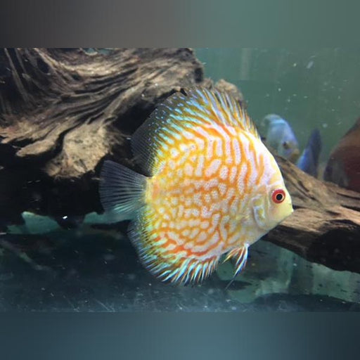 Golden Pigeon Blood Discus