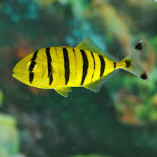 Golden PilotFish