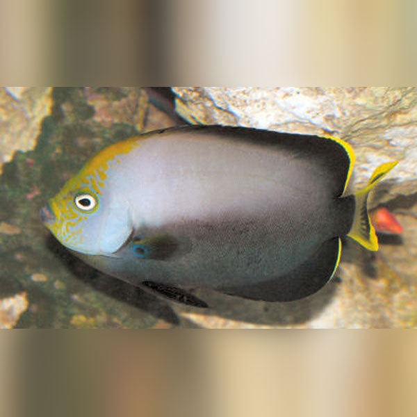 Gray Poma Angelfish