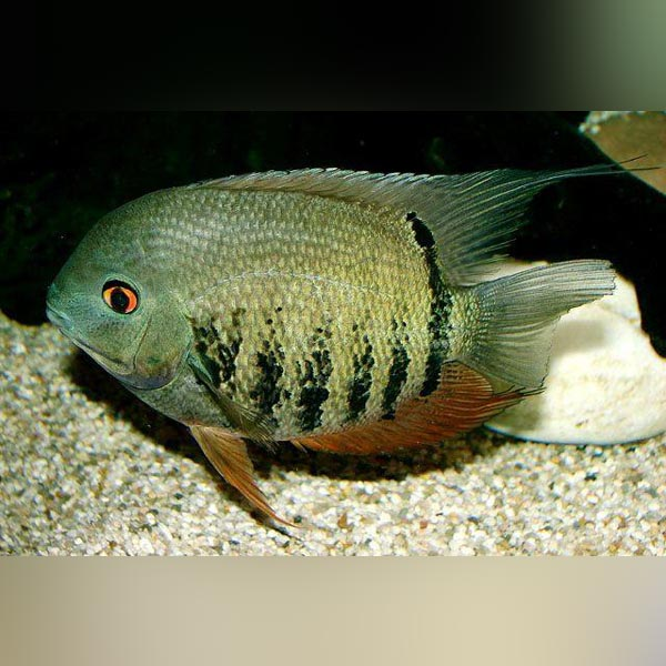 Green Banded Severum