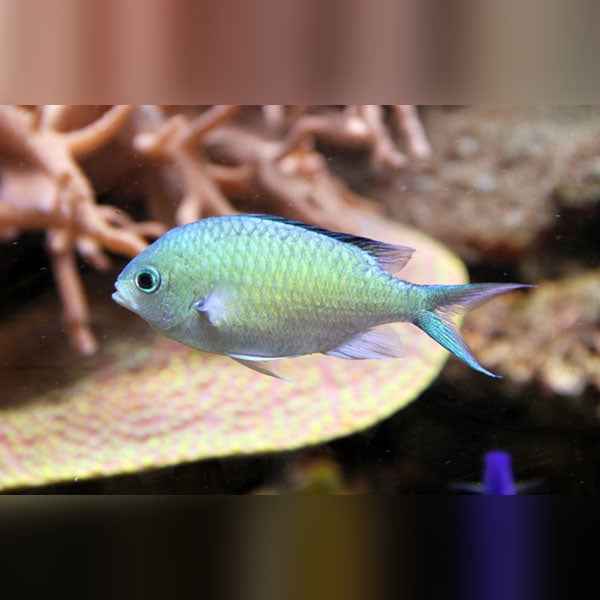 Green Chromis Damsel