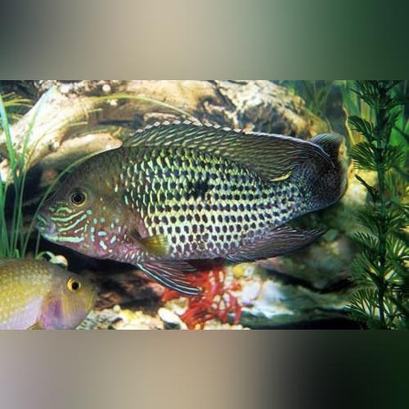 Green Terror Cichlid (Medium)