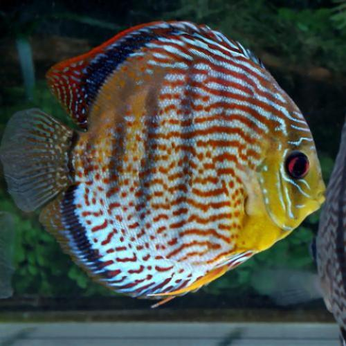Green Tefe Discus WILD