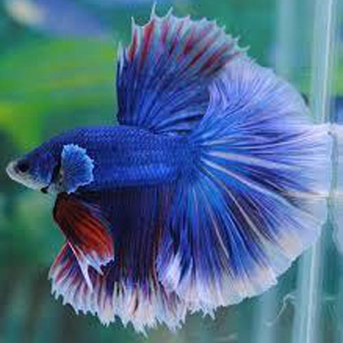 Halfmoon Butterfly Betta Male