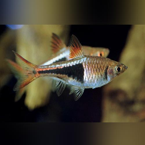 Harlequin Rasbora (Lot of 6)