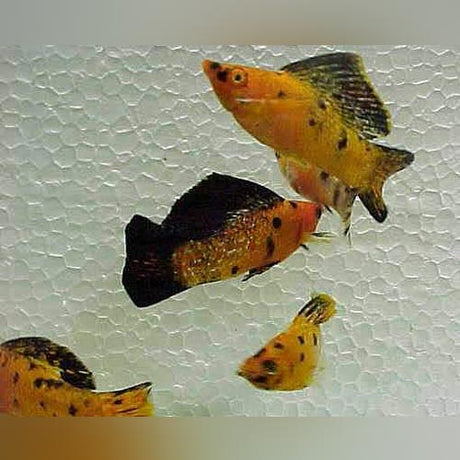 Harlequin Sailfin Molly (Pair)