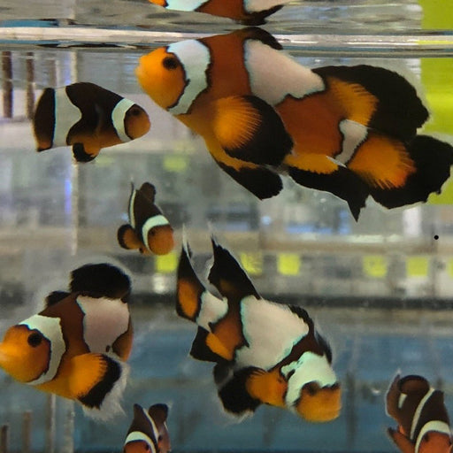 Black Longfin Clownfish