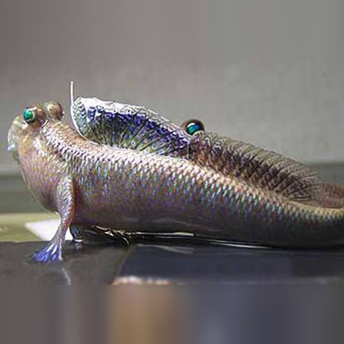 Indian Mudskipper (Periophthalmodon septemradiatus)