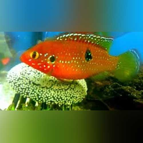 Jewel Cichlid - Aquarium Fish Sale