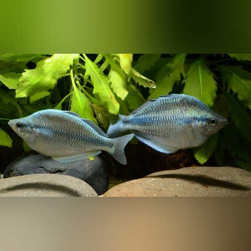 Kamaka Rainbowfish