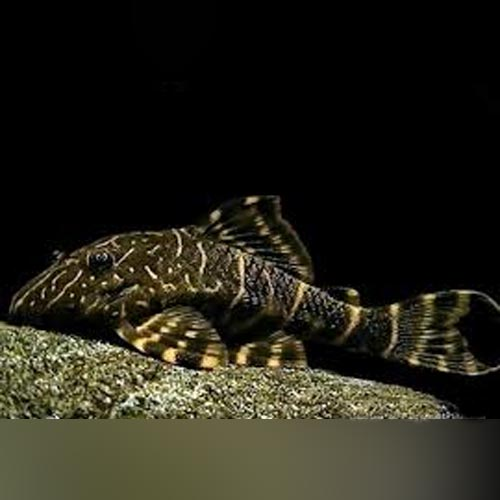 L-104 Clown Stripe Pleco
