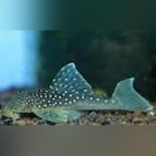 L-128 Blue Phantom Pleco