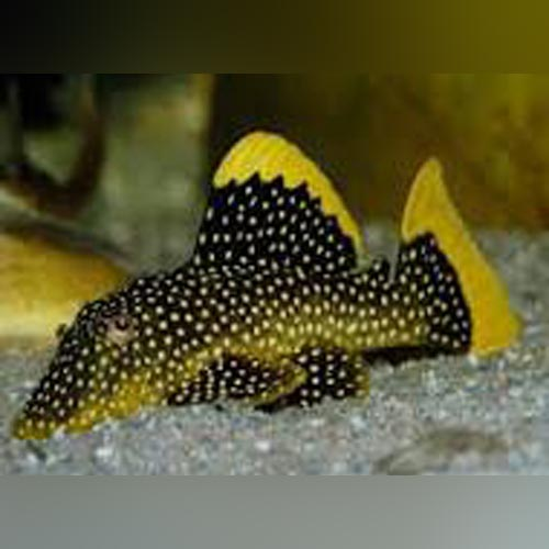 L-18 Gold Nugget Pleco