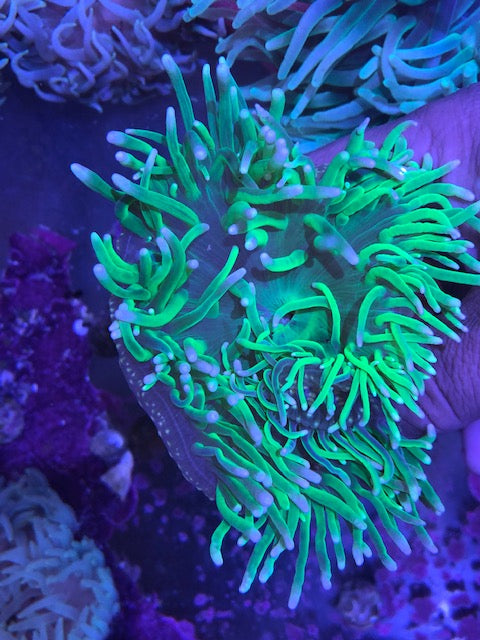 Long Tentacle Green Anemone