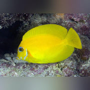 Mimic Lemon Peel Tang