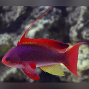 Squamipinis Blue Eye Anthias - Female