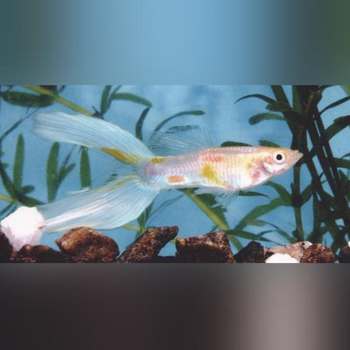 Blue Lyretail Guppy (Pair)