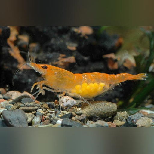 Mandarine Orange Shrimp
