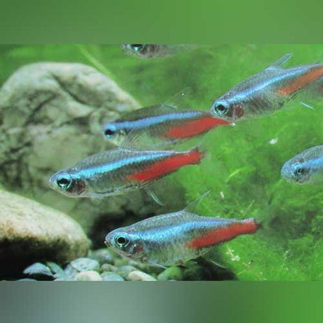 Tropical Fish For Sale Aquariumfishsale Com