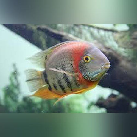 Orange Shoulder Severum