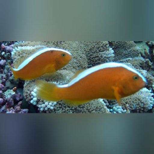 Orange Skunk Clownfish