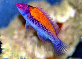 Orange Back Fairy Wrasse