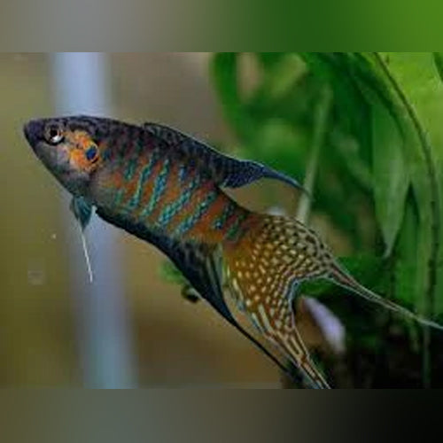 Paradise Fish - AquariumFishSale.com