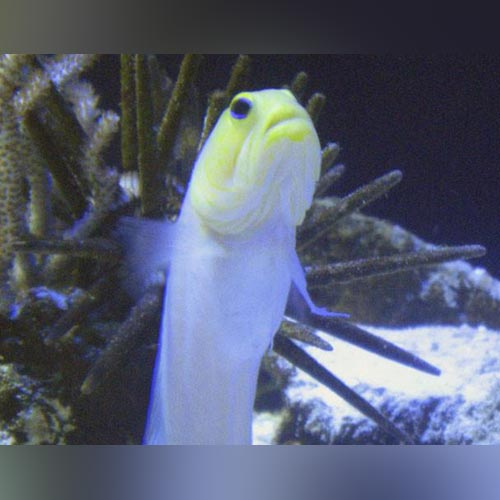 Pearly Yellowhead Jawfish Goby