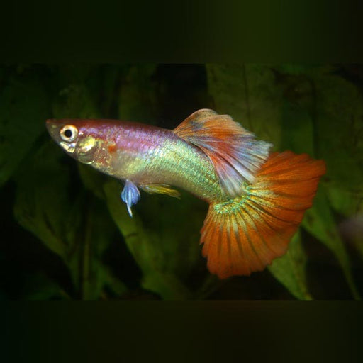 Pink Flamingo Guppy (Pair)