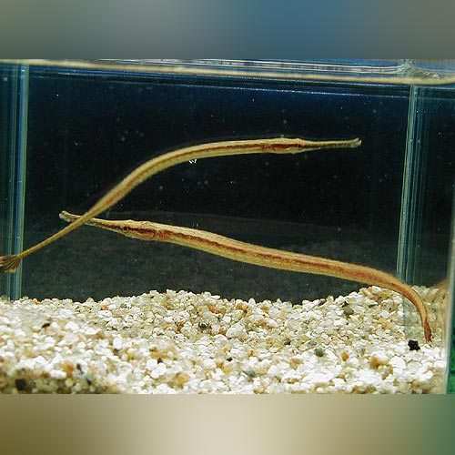 Long Mouth Pipefish