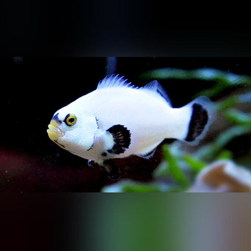 Platinum Clownfish
