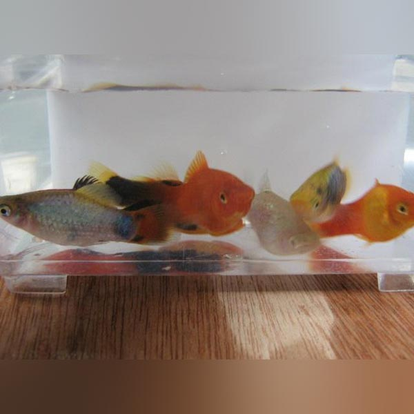 Platy Assorted (Lot of 6)