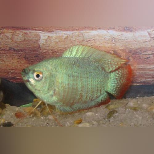 Powder Blue Dwarf Gourami