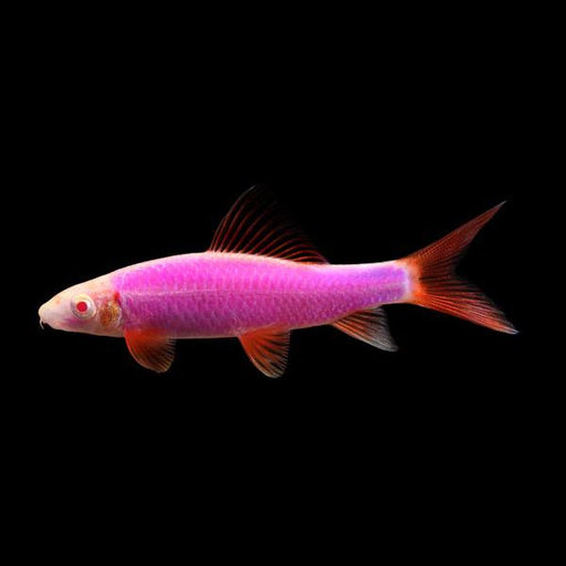 Galactic Purple Glofish Shark