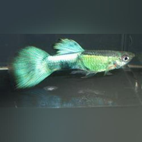 Purple Haze Guppy (Pair)