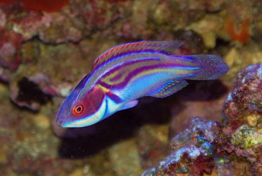 Labout's Wrasse