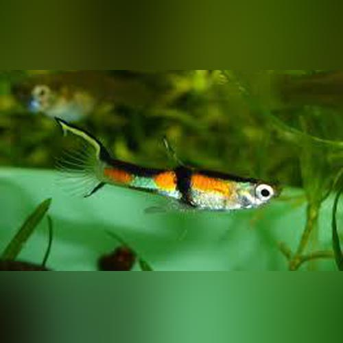 Rainbow Endler - Male