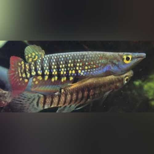 Rainbow Striped Killifish