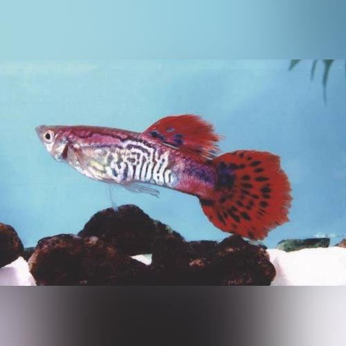 Red Cobra Guppy (Pair)