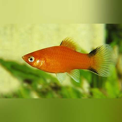 Red Comet Platy - AquariumFishSale.com