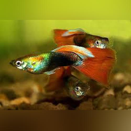 Red Delta Guppy (Pair)