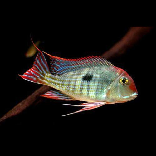 Red Head Tapajos Cichlid